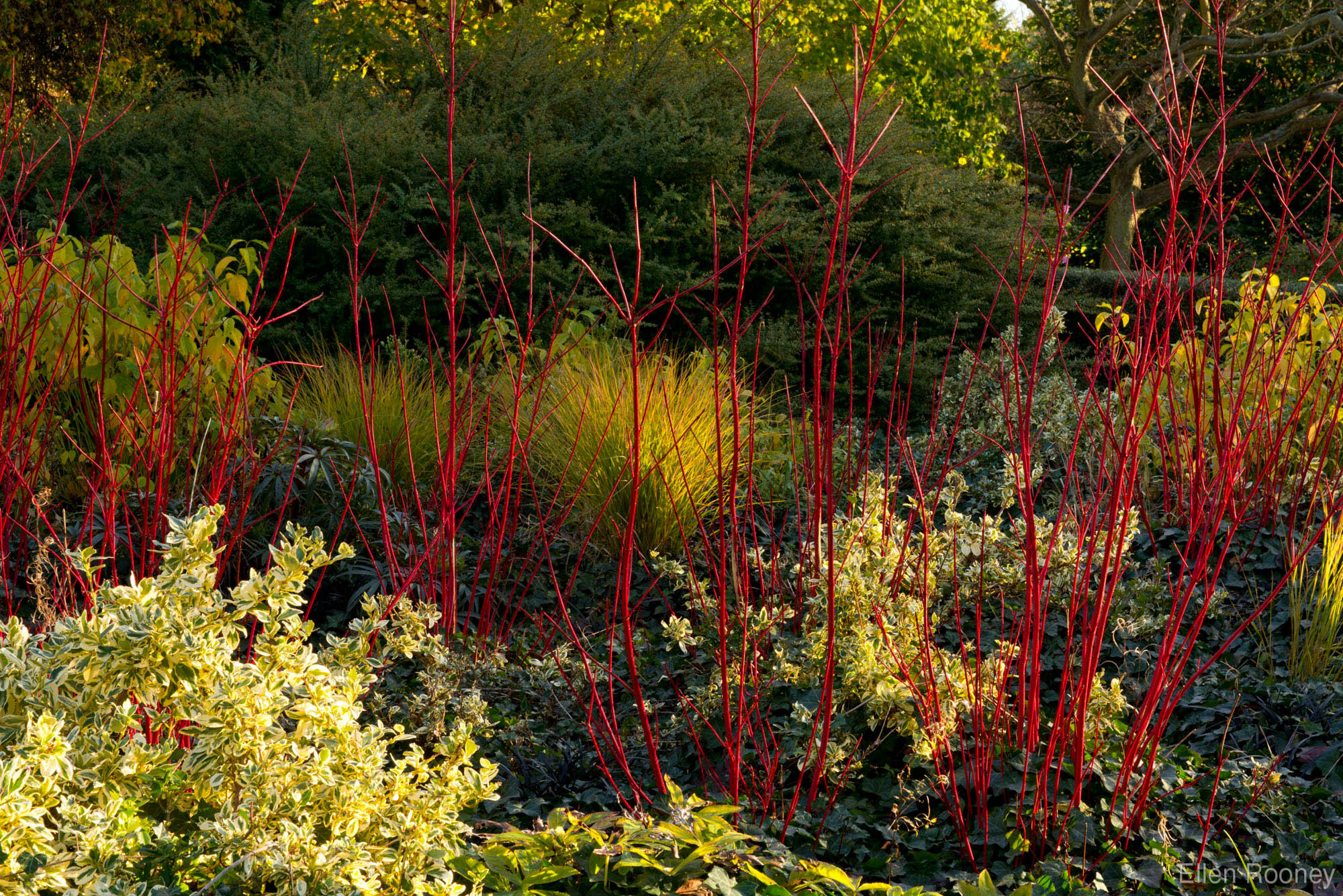 cornus alba u0027sibirica u0027 in the cambridge botanic garden winter