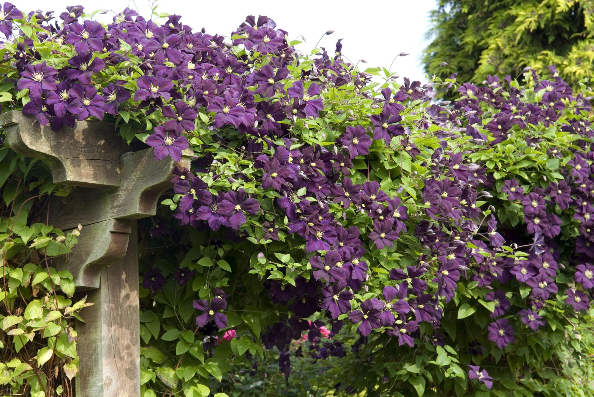 Michael king garden photographer 39 s association - Clematis viticella ...