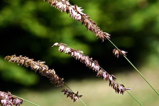 - melica-altissima-atropurpurea-607