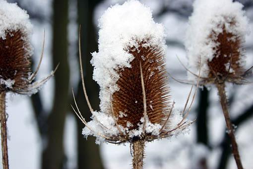 - teazels-in-snow-609