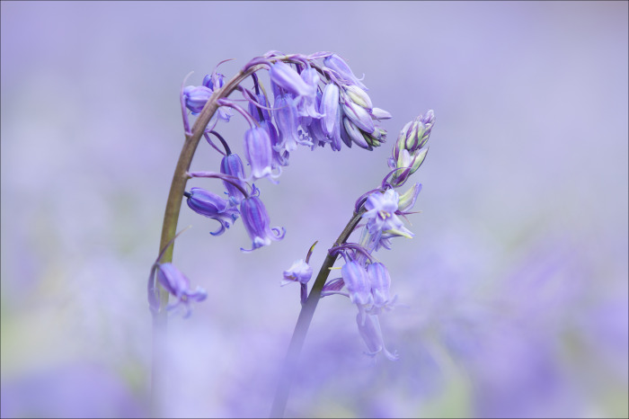 Kissing Bluebells
