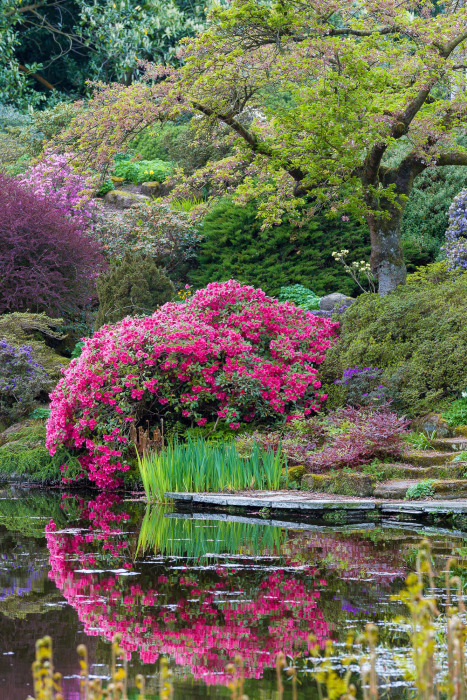 Azalea Reflections at Cholmondeley Castle