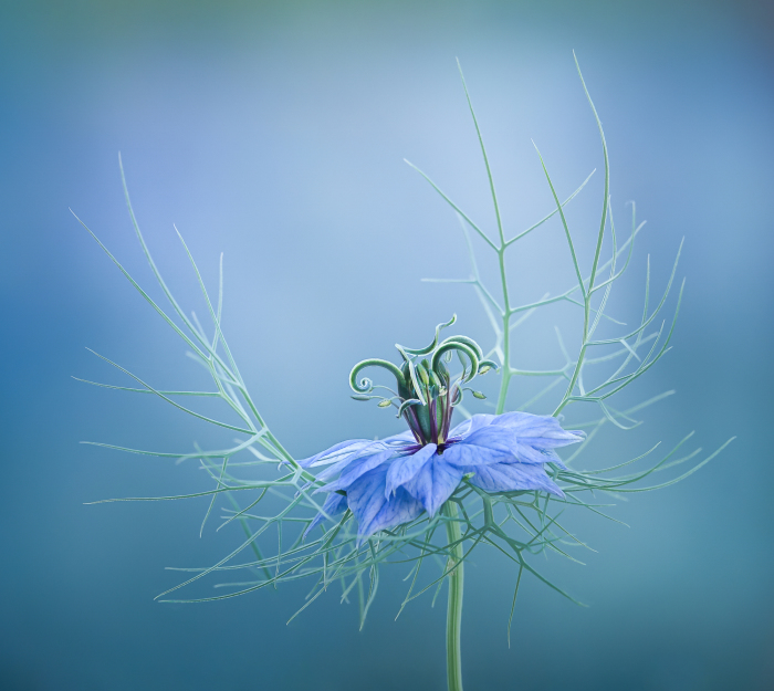 Love in a a Mist