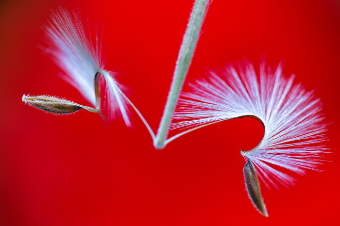 Pelargonium seed head