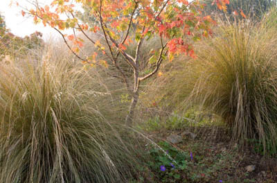 Acer and chionochloa