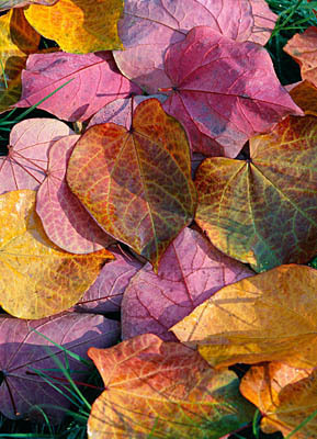 fallen leaves of Forest Pansy