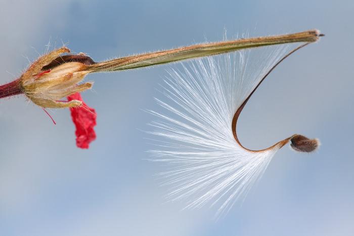 Pelargonium seed