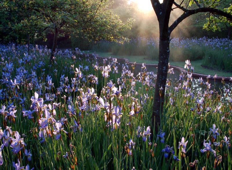 Sky Blue Irises at Sunrise