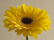 Yellow Gerbera Beige Background