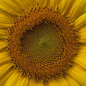 Sunflower, helianthus