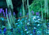 Veronicastrum & colour