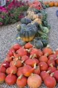Pumpkins at Le Rivau