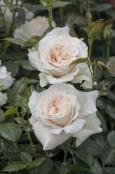 Rosa 'Pride and Prejudice'