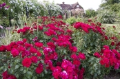 Red Roses with Complimentary Planting
