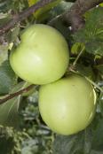 Grenadier Apples