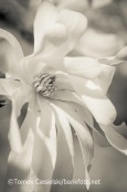 Magnolia stellata from my new book