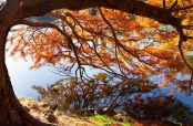 Taxodium distichum in autumn