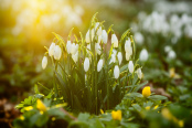 Snowdrops in Winter Sun