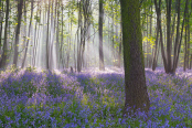 Bluebells in Morning Mist