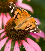 Painted lady butterfly, Cynthia cardui, on coneflower Echinacea purpurea
