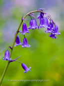English bluebell, Hyacinthoides non-scripta