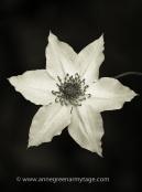 Clematis florida 'Evirida' Pistachio in monochrome.