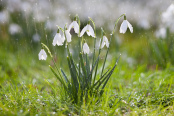 Snowdrop Shower