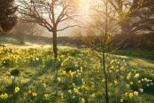 Daffodils at Felley Priory Gardens