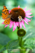 Sharing a meal: comma butterfly (Polygonia c-album) and bee feeding on nectar from the cone-flower, Echinacea purpurea.
