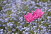 Pink Tulips and Forget-me-nots