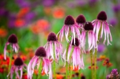 Straggly ragged Coneflowers
