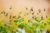 Cranesbills