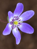 Seed raised Hepatica