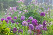 Alliums, the Walled Garden