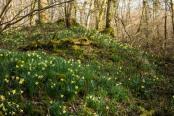 Wild Daffodils, Edford Woods