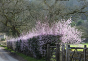 The cherry hedge at Iford