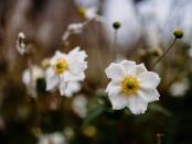 September Anemone
