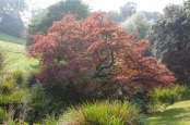 Acer palmatum cultivar caught in misty autumn sunlight.