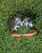 Galanthus nivalis, snowdrop, surrounded by small-leaved privet, Ligustrum sp.