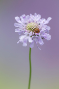 August 2018, Winning Image of the Month, Scabiosa_columbaria