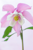 Aquilegia 'Spring Magic Series'