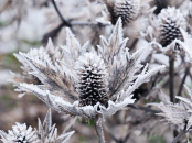 Eryngium giganteum covered in frost