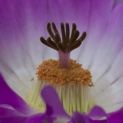 cactus echinocereus rigidissimus rubrispinus