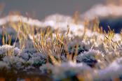 Frosted Brachythecium rutabulum