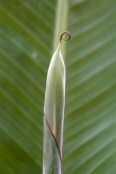 Musa, banana plant
