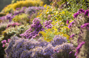 Autumn colour in the herbaceous border, Waterperry Gardens