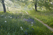 Orchard Path at Sunrise with Bluebells