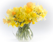 A variety of narcissi