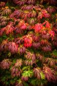 Acer japonicum 'Aconitifolium' Full Moon Maple