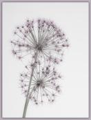Allium Stars
